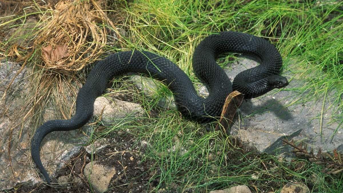 Житель Воронежской области попал в реанимацию после укуса змеи