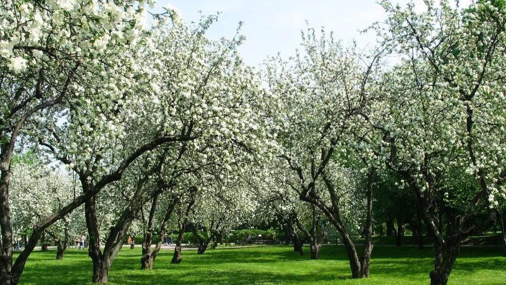 Яблоневый сад включат в состав «зелёного пояса» Воронежа
