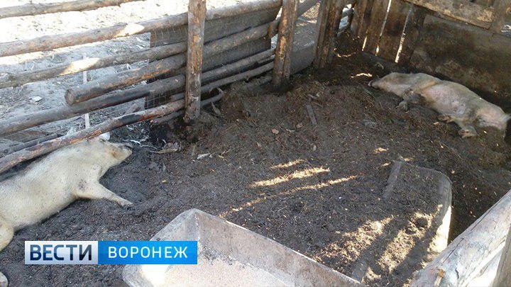 Очевидцы: в Воронежской области из-за нашествия комаров погибли свиньи и щенки