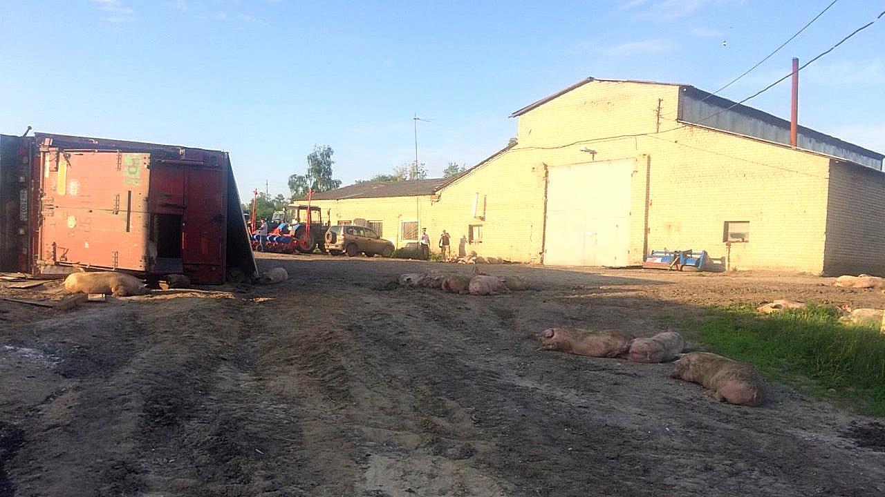 В Воронежской области из фуры вывалились 200 свиней: последствия ДТП попали на видео
