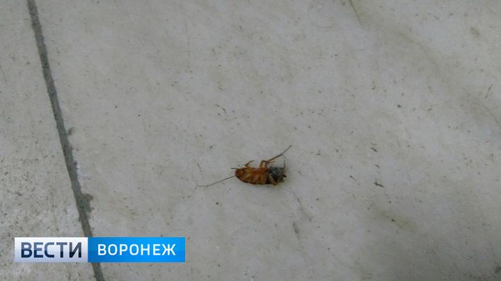Облздрав сообщил о неизбежности появления тараканов в воронежских больницах