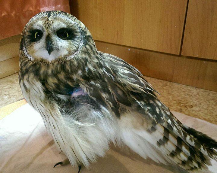 В Воронеже ищут дом для совы с ампутированным крылом