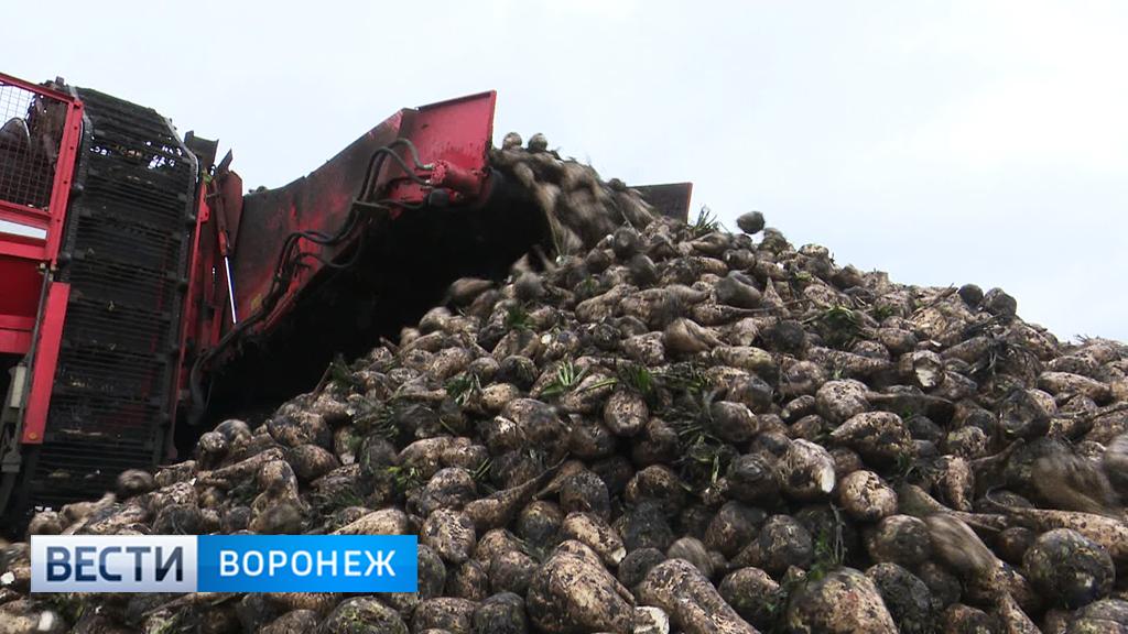В Воронежской области назван рекордсмен по урожаю сахарной свёклы