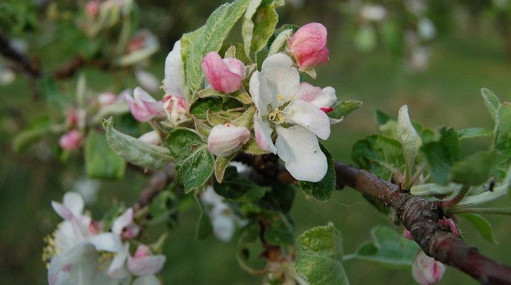 «Выбор» вернёт яблоневые сады государству