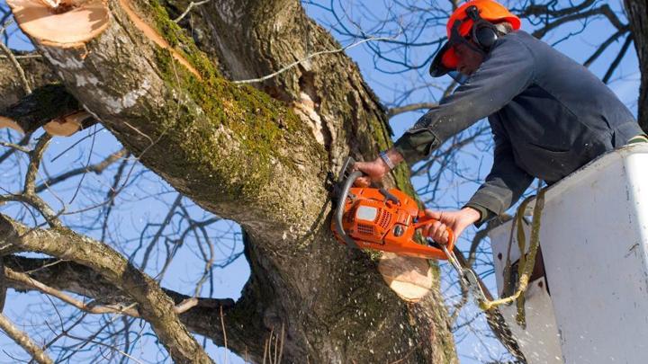 На обрезку аварийных деревьев в Коминтерновском районе Воронежа выделят 4,8 млн рублей