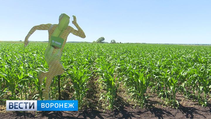 Воронежские аграрии намерены увеличить урожай зерновых и кукурузы