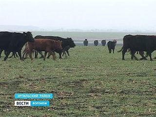 Абердин-ангуссы жуют урожай будущего года, аграрии подсчитывают убытки