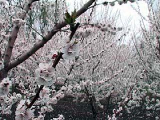 Абрикосы новой селекции зацвели в саду Воронежского агроуниверситета