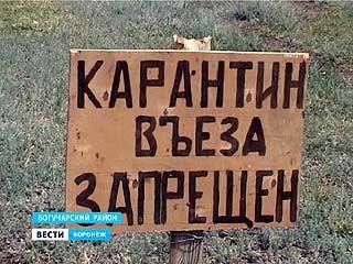 Африканская чума свиней вернулась в Воронежскую область
