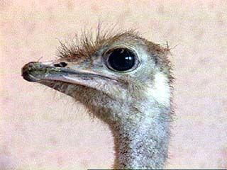 Африканский страус живет в одной из воронежских квартир