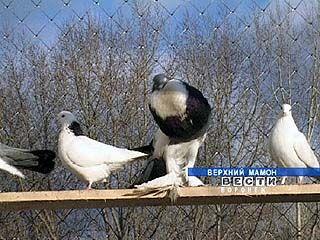 Более 40 лет Владимир Брендель занимается разведением голубей