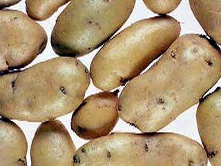 Будете ли Вы сажать картошку в этом году?