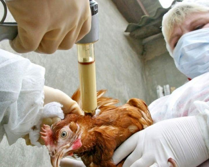 В Воронеже ввели карантин по птичьему гриппу