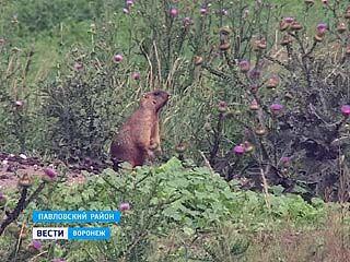 До конца августа официально разрешено охотиться на байбаков