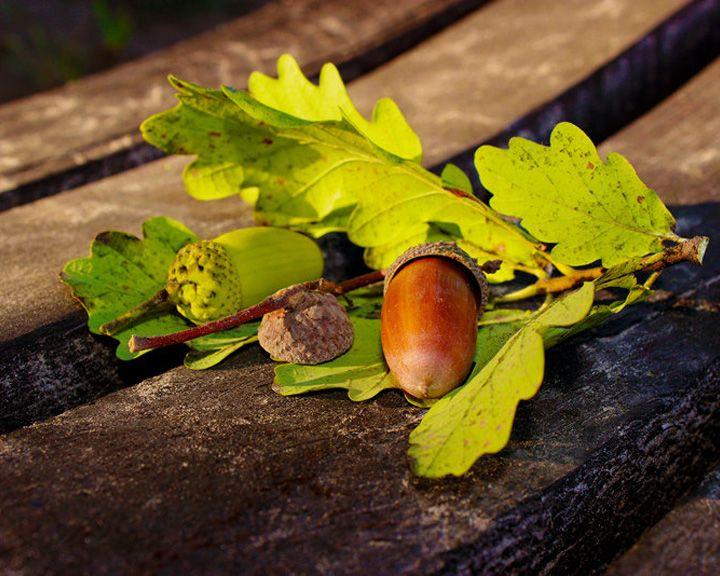 Дуб дубом: 5 самых древних природных «исполинов» земли воронежской