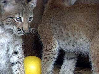 Два котенка рыси появились в зоосаде