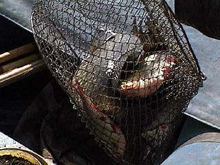 Две инспекции охотятся за рыбаками-браконьерами