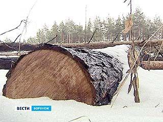 Две тысячи деревьев в Воронеже вырубили незаконно
