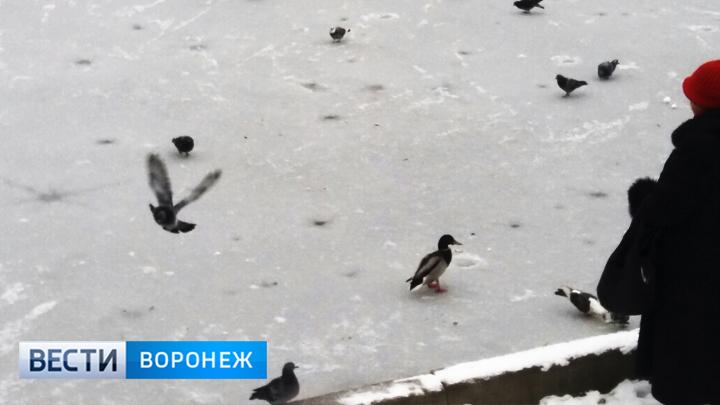 Воронежцы пытаются помочь новой пернатой обитательнице озера на улице Минской