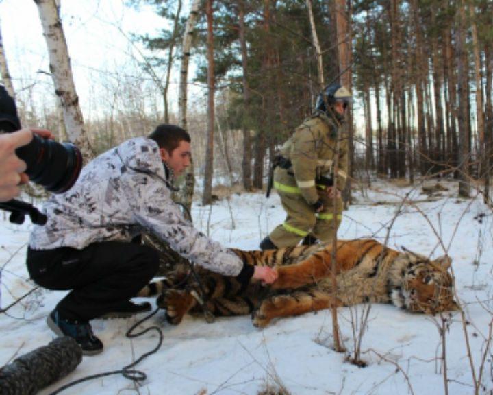 ФОТО: В Воронеже спасатели и полиция поймали сбежавшего тигра
