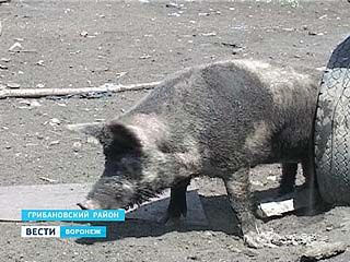 Где в Воронежской области свиньям жить хорошо?