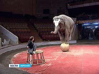 Главные звёзды на манеже Воронежского цирка - слоны. Уже 15 марта