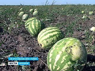 Хотите больших арбузов - спешите в Петропавловский район