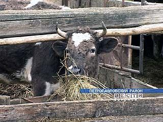 Ильинские коровы могут погибнуть от голода