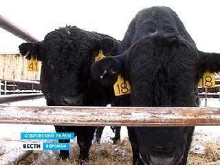 Из США в Бобровский район доставлено стадо американских коров