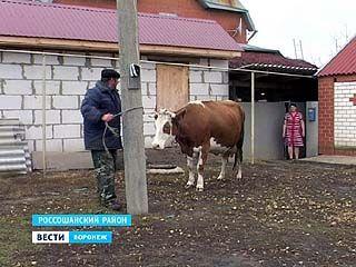 Из-за вспышки бешенства под Россошью запретили вывозить и продавать скот