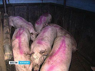 Из заражённого АЧС хозяйства пытались вывезти свиней