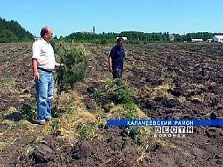Калачеевский фермер вспахал гектар сосновых саженцев