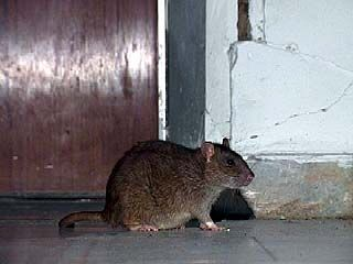 Крысы атакуют воронежские многоэтажки