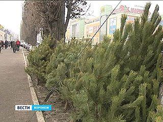 Ёлки 2014: где и как заготавливают новогодние деревья,сколько они будут стоить и когда открываются базары?