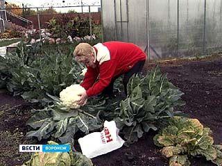 Марии Ивановне удалось вырастить цветную капусту весом в 5 килограммов