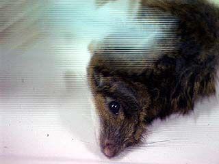 На каждого жителя Воронежской области приходится 13 мышей