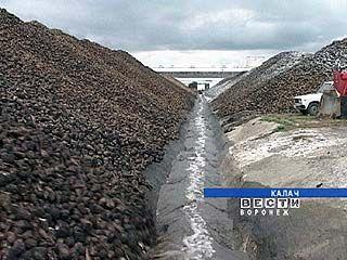На полях области убрали 90% урожая сахарной свеклы
