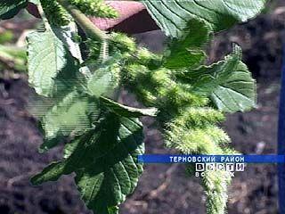 На полях Терновского района проводят экперимент - выращивают амарант