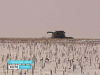 На заснеженных полях Рамонского района комбайны убирали урожай подсолнечника