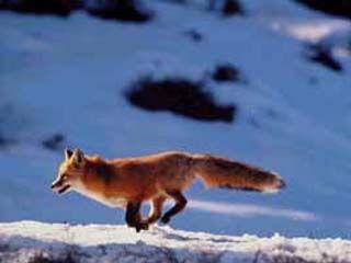Начинается выдача путевок на охоту на пушных зверей