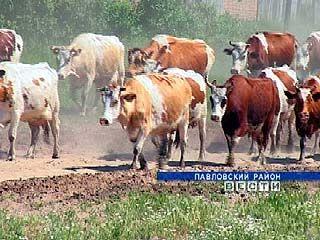 Нашествие мошкары доставляет немало хлопот животноводам