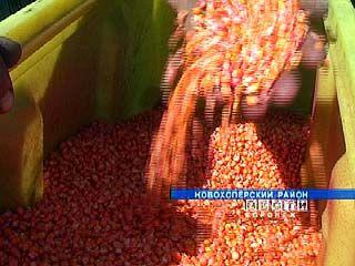 Небывалый урожай кукурузы планируют собрать в Новохоперском районе