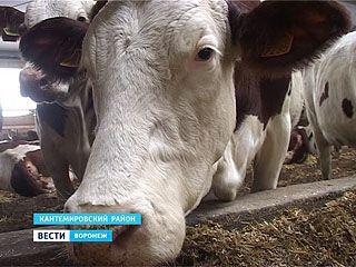"""Невозмутимая порода. Какое молоко дают коровы """"монбельярд""""?"""