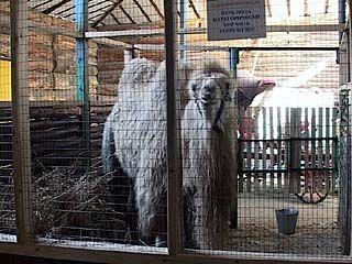 Новое приобретение Воронежского зоосада - белый верблюд