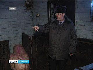 Новой вспышки африканской чумы в Воронеже не случилось