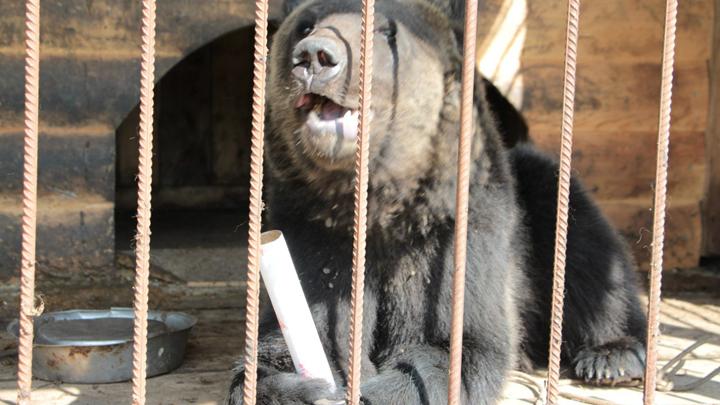 Под Воронежем сбежавший из частного зоопарка медведь растерзал мужчину