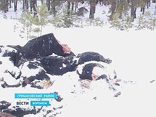 Областные власти заинтересовались массовой гибелью коров в Грибановском районе