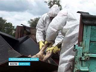 Около 12 тысяч свиней будут истреблены из-за вспышки африканской чумы