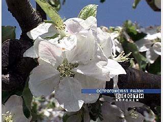 Острогожцы отмечают праздник цветущей яблони