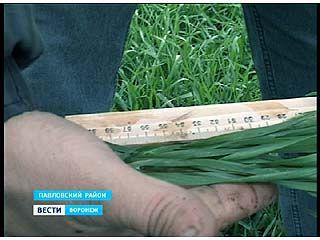 Озимые в Павловском районе переросли примерно на 24% озимого клина
